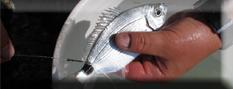 ABC della Pesca con il vivo